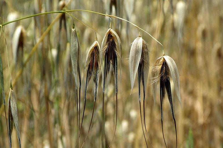 Семена дикого овса